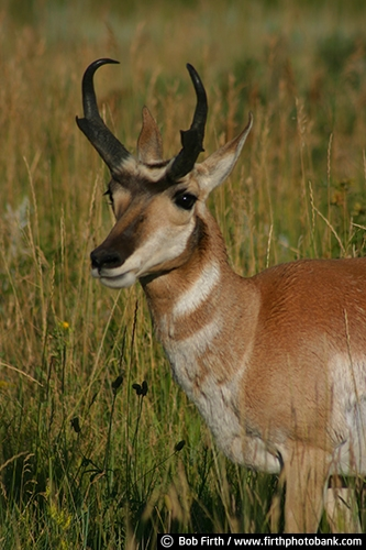 Antelope;animal;Black Hills;Custer State Park;destination;horns;mammal;SD;South Dakota;tourism;wildlife;hoofed