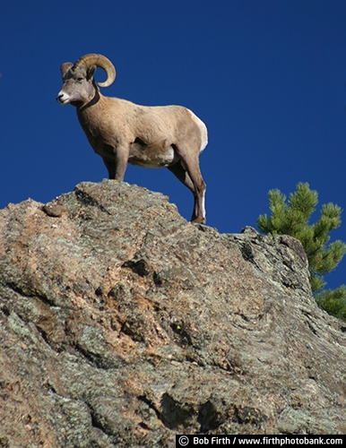 Big Horn Sheep;Black Hills;animal;destination;hoofed;mammal;mountains;rock formation;SD;South Dakota;tourism;wildlife;Bighorn Sheep;large curved horns