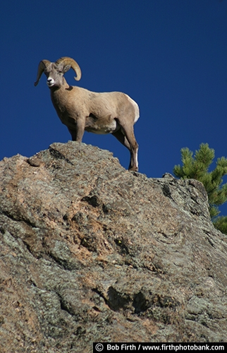 Big Horn Sheep;Black Hills;animal;destination;hoofed;mammal;mountains;rock formation;SD;South Dakota;tourism;wildlife;large curved horns