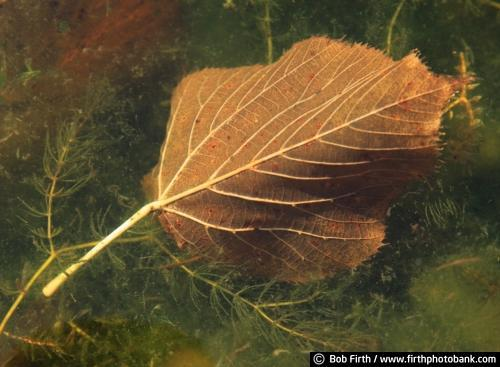 Cottonwood leaf,fall,autumn,leaves on ground,close up,detail
