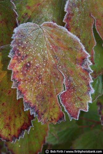 frost;frost details;hoar frost;leaves;Bob Firth;Minnesota;photo;fall,autumn,close up