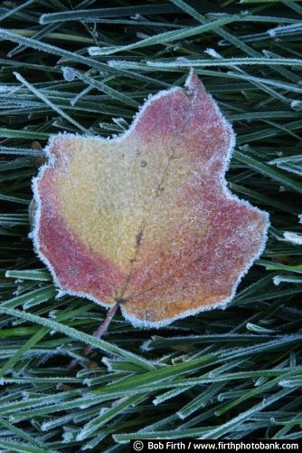 Bob Firth;fall;frost;frost covered grass;frost details;hoar frost;leaves;Minnesota;photo,maple leaf,autumn,close up