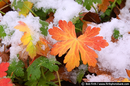 leaf;leaves;Minnesota;orange;plants;snow;yellow;green;fall;MN
