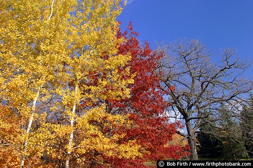 Minnesota Landscape Arboretum;University of Minnesota Landscape Arboretum;arboretum;Chaska MN;Minnesota;MN;Twin Cities Metro Area;U of M Landscape Arboretum;fall;fall color;fall foliage;fall leaves;yellow leaves;fall trees;Autumn;colorful leaves;trees;birch trees;birches;maple trees