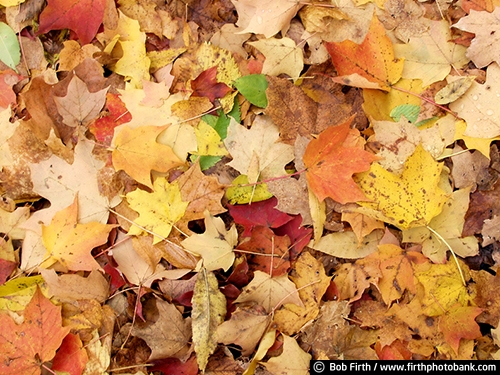 Minnesota Landscape Arboretum;University of Minnesota Landscape Arboretum;arboretum;Chaska MN;Minnesota;MN;Twin Cities Metro Area;U of M Landscape Arboretum;fall;fall color;fall foliage;fall leaves;yellow leaves;abstract;Autumn;fall leaves on ground;colorful leaves;close up photo;detail photo;fallen leaves;woodland floor;woodland floor covered with fallen leaves