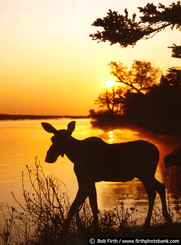 animal;Alces alces;cow moose;Minnesota;long legs;MN;northern Minnesota;silhouette;sun;sunset;wildlife