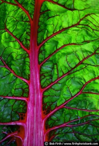 vegetable gardens;plant details;plant close ups;vegetables;University of Minnesota Landscape Arboretum;University of Minnesota;plants;photos;fruit and vegetable garden;Chaska Minnesota;chard;Bob Firth;Arboretum summer;MN